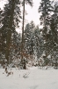 Bór iglasty zimą_3