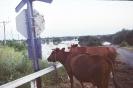 Uratowane krowy_1