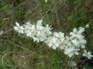 Czereśnia kwiat_1
