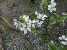Czereśnia kwiat_3