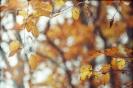 Liście buka jesienią_1