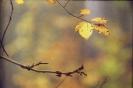 Liście buka jesienią_2