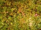 Żurawina Oxycoccus na bagnie_1