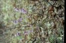 Wawrzynek wilczełyko kwiat_2