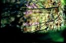 Wawrzynek wilczełyko kwiat_4