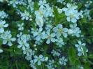Wiśnia karłowata kwitnie_2