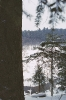 Śnieg na świerkach_1