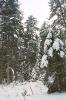 Śnieg na świerkach_6