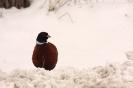 bażant w śniegu_1