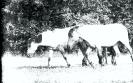 Konie Biłgorajskie w Szklarni_1
