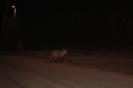 Lis na drodze nocą_1