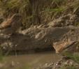makolągwy piją wodę_1