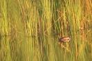 Perkozek (Tachybaptus ruficollis)_1
