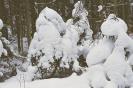 Bór iglasty zimą_2