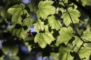Jawor liście i nasiono_3