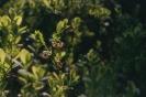 Kwiat borówki_1