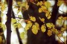 Liście buka jesienią_3