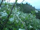 Wiśnia karłowata kwitnie_4