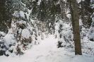Śnieg na świerkach_2