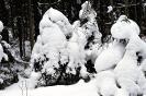 Śnieg na świerkach_3
