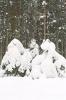 Śnieg na świerkach_4