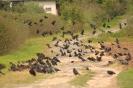 Gawron (Corvus fragilegus) w stadzie z kawką (Corvus monedula)_1