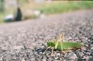 Pasikonik zielony_1
