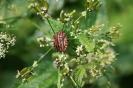 Strojnica baldaszkówka (Graphosoma lineatum)_1