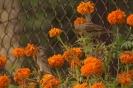 Wróble na kwiatach (Passer domesticus)_1